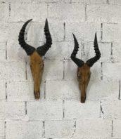 trophhee chasse ancien bubale roux cabinet curiosite afrique 5francs 1 172x198 - Paire d'anciens trophées massacre Bubale Antilpope